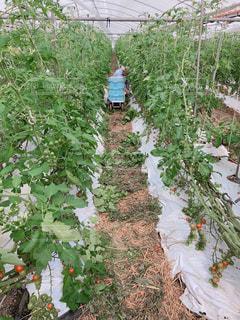 ミニトマト収穫期の写真・画像素材[1161653]