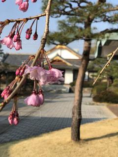 ピンクの花のグループの写真・画像素材[1147838]