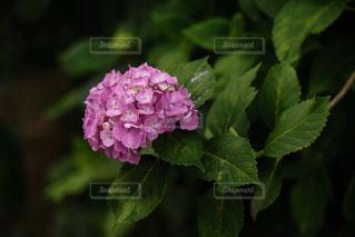 花,雨,植物,あじさい,紫陽花,梅雨,6月,ピンク色,インスタ映え