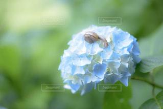 花,雨,植物,あじさい,紫陽花,梅雨,6月,カタツムリ,青色,かたつむり,インスタ映え