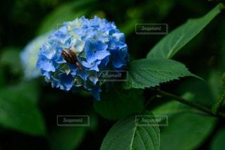 花,雨,植物,梅雨,6月,カタツムリ,青色,かたつむり,インスタ映え