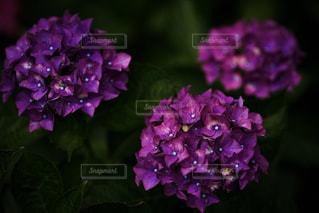 花,雨,植物,紫,梅雨,6月,カタツムリ,かたつむり,インスタ映え