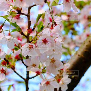 自然,花,桜