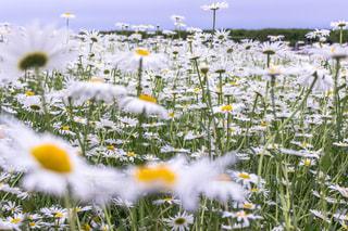 フィールド内の黄色の花の写真・画像素材[1149515]