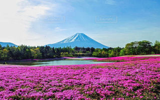 富士山と芝桜の写真・画像素材[1155857]
