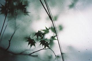 夏,紅葉,雨,傘,緑,植物,フィルム,フィルムカメラ,フォトジェニック