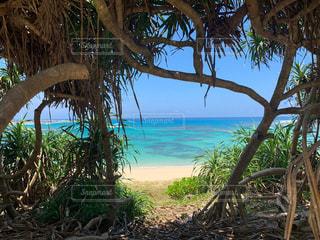 アダン木の隙間から見える青い海の写真・画像素材[2338987]