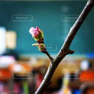 教室の花の写真・画像素材[1149018]