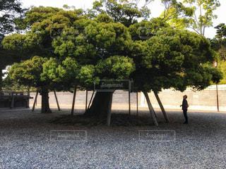 成田山新勝寺の大木の写真・画像素材[1157996]