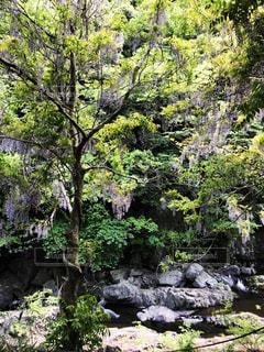 藤の木と渓谷の写真・画像素材[1164070]