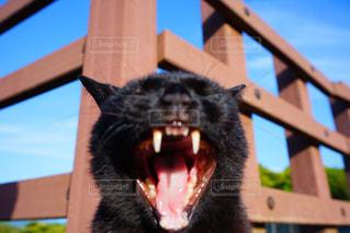 黒猫の大あくびの写真・画像素材[1211653]