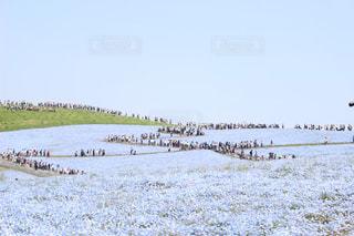 ネモフィラが満開のみはらしの丘の写真・画像素材[1156217]