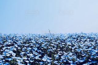 ネモフィラと空の境界線の写真・画像素材[1156221]