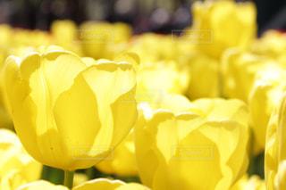 黄色のチューリップの写真・画像素材[1156222]
