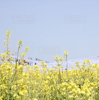 ネモフィラと菜の花の写真・画像素材[1156438]