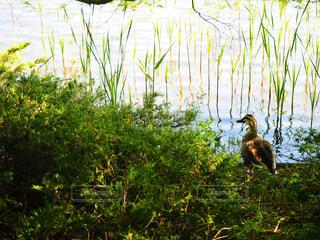 草の中に立っている鳥の写真・画像素材[1157732]
