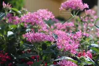 花,屋外,ピンク,景色,鮮やか,草木,野生,ガーデン