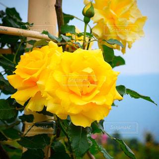 近くの花のアップの写真・画像素材[1156416]