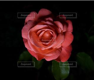 夜の紅い薔薇の写真・画像素材[1210575]