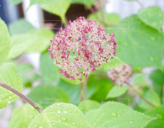 紫陽花の蕾の写真・画像素材[1215862]