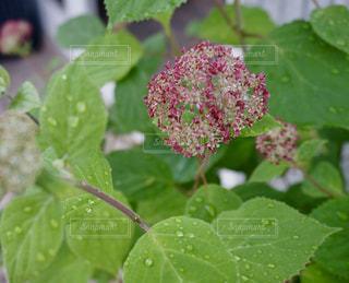 紫陽花のつぼみの写真・画像素材[1216875]