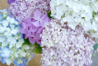 パステルカラーの紫陽花の写真・画像素材[1216904]