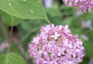 ピンク,あじさい,紫陽花,梅雨,梅雨入り,アジサイ