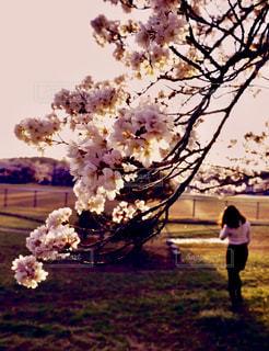 女性,公園,夕日,桜,屋外,緑,樹木,人物