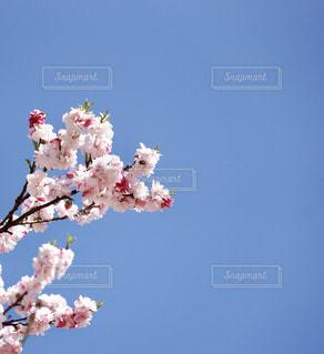 空と花桃の写真・画像素材[1313876]