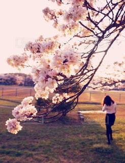 夕暮れ時の桜の写真・画像素材[1370686]
