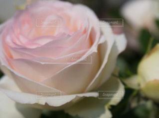 花フェスタ記念公園の薔薇の写真・画像素材[1379546]