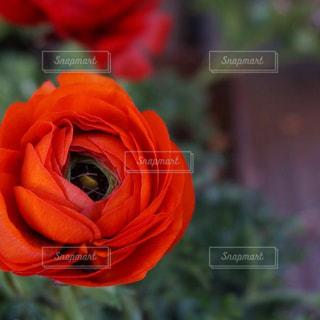 鮮やかで色っぽいラナンキュラスの写真・画像素材[1379549]