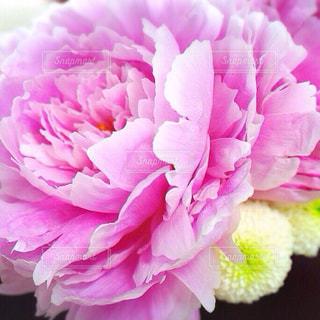 芍薬の花の写真・画像素材[1379821]