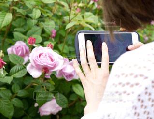 ピンクの薔薇が綺麗の写真・画像素材[1426772]