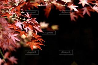 毎年見たい曽木公園の紅葉の写真・画像素材[1622756]