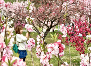 花,春,ピンク,景色,お花見,花桃,草木