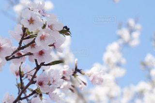 空,花,春,桜,ピンク,青,水色,景色,優しい,お花見,パステル,ふんわり,草木,桜の花,さくら,ブロッサム