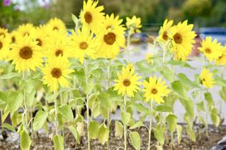 夏,ひまわり,黄色,向日葵,イエロー,夏の終わり,ミニヒマワリ,ミニひまわり,ミニ向日葵