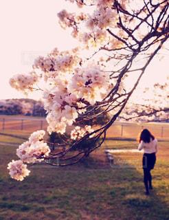 女性,公園,桜,ピンク,散歩,お花見,夕暮れ時,近所