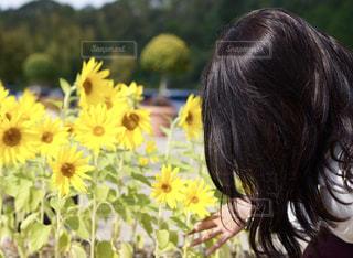 ミニヒマワリが可愛いの写真・画像素材[2288186]