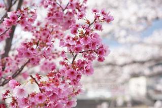 大好きな桜の写真・画像素材[4242584]