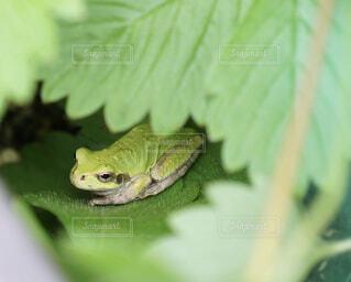 葉の中にカエルの写真・画像素材[4564964]