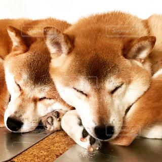 2頭仲良く寝ている愛犬たち。の写真・画像素材[1186804]