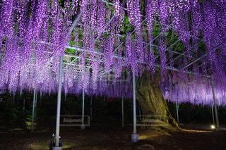 紫雲の写真・画像素材[1158299]