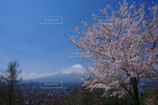 富士桜の写真・画像素材[1158546]