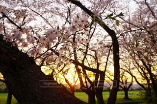 桜越しの夕日の写真・画像素材[1158579]