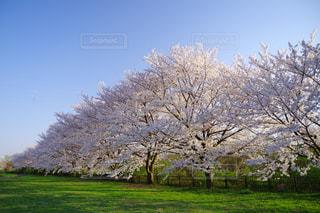 桜草の写真・画像素材[1158599]