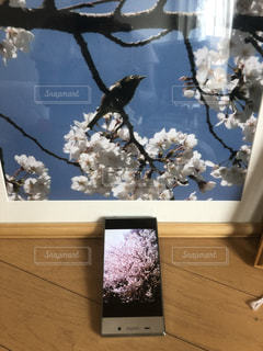 桜から桜への写真・画像素材[1439716]