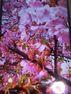 桜の写真・画像素材[1440036]