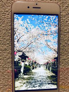 青空のした満開の桜並木の写真・画像素材[1454668]